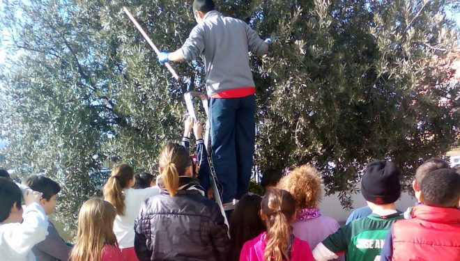 Los alumnos del CEIP La Olivarera participan en la recogida de la aceituna