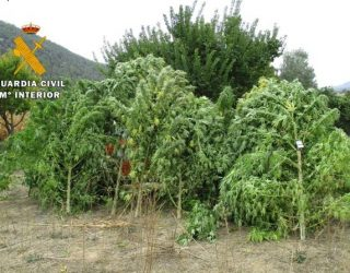 Detenido un vecino de Yeste por cultivar marihuana