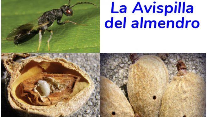 Jornada para informar sobre la declaración de plaga de la avispilla del Almendro
