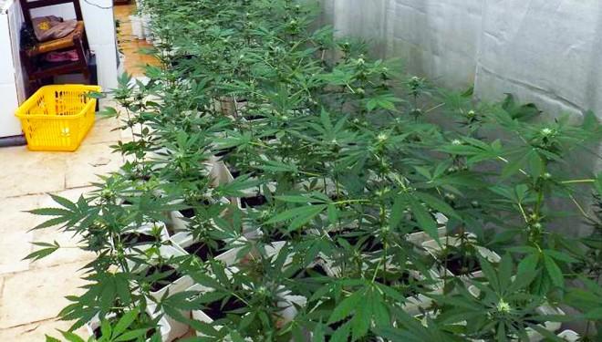 La Policía desmantela en Hellín una instalación con 200 plantas de marihuana
