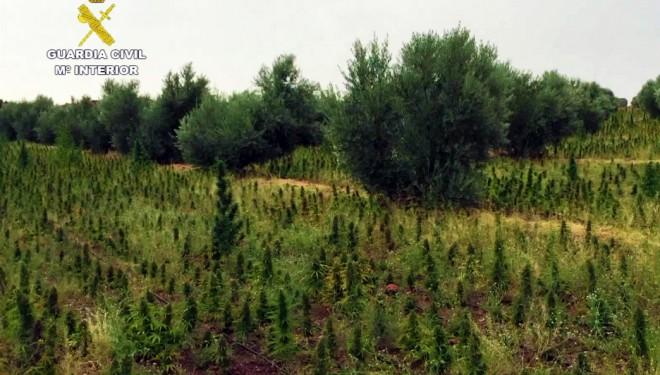 La Guardia Civil realiza la mayor incautación de plantas de marihuana de España en un pueblo de Albacete