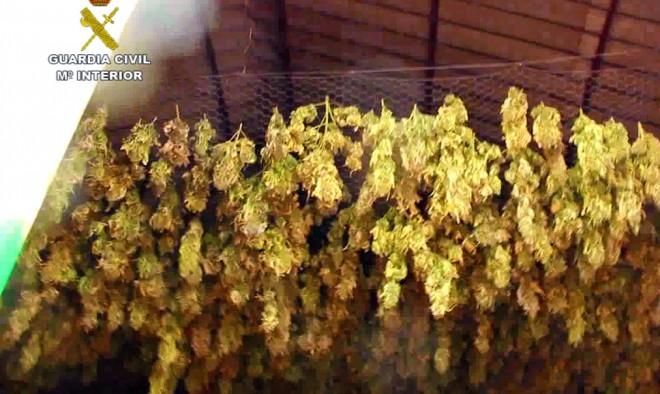 Marihuana en el proceso de secado.