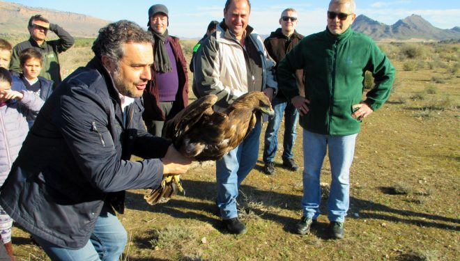 Un águila real y un cernícalo común vuelven a volar en libertad tras ser recuperados de sus lesiones