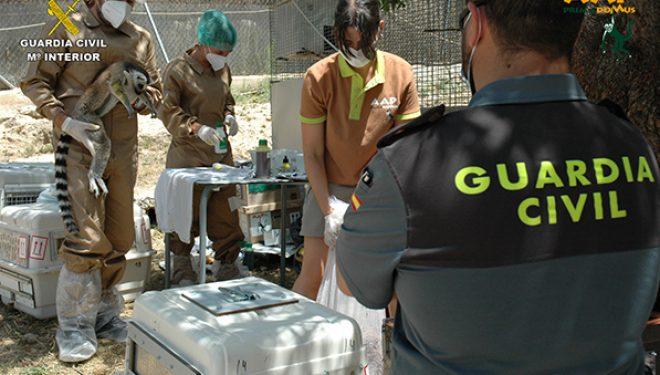 Rescatados doce especímenes de Lémur cola anillada en Nerpio