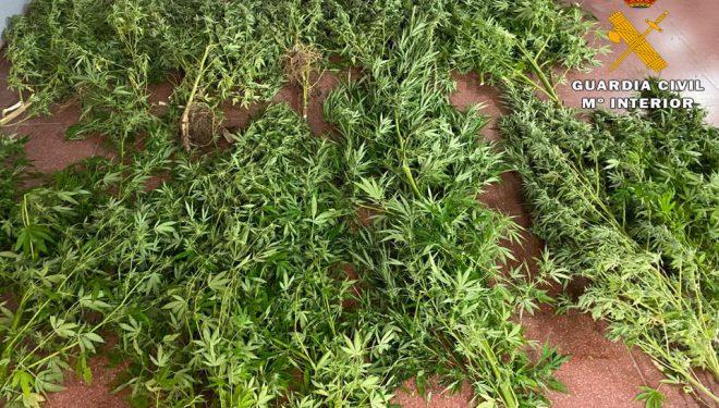 Detenida una persona por cultivar plantas de marihuana en Socovos