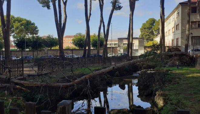 277 pinos, de los 590 que contiene el Parque Municipal, serán talados por problemas de peligro de caída o de sanidad