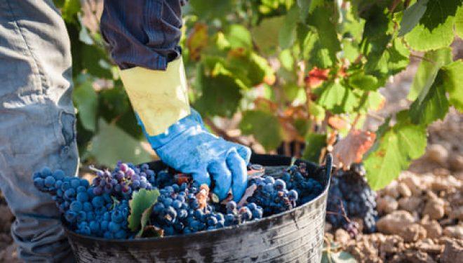 La Denominación de Origen Protegida de Jumilla bate record de calidad en su uva
