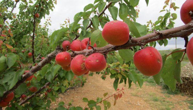 El próximo 20 de enero finaliza el periodo de contratación del seguro de frutales en la provincia de Albacete