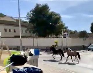 Agentes de la Policía Local retiran un asno y un poni de las calles de la ciudad