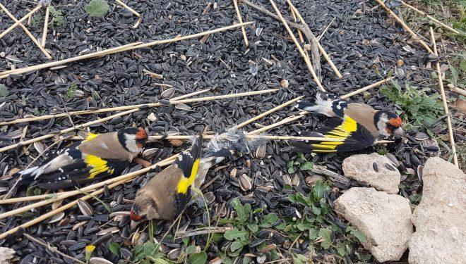 Cinco personas investigadas por la caza ilegal de jilgueros en Albacete