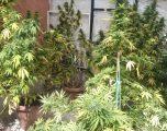 Detenidas en Hellín dos personas por cultivo de cannabis